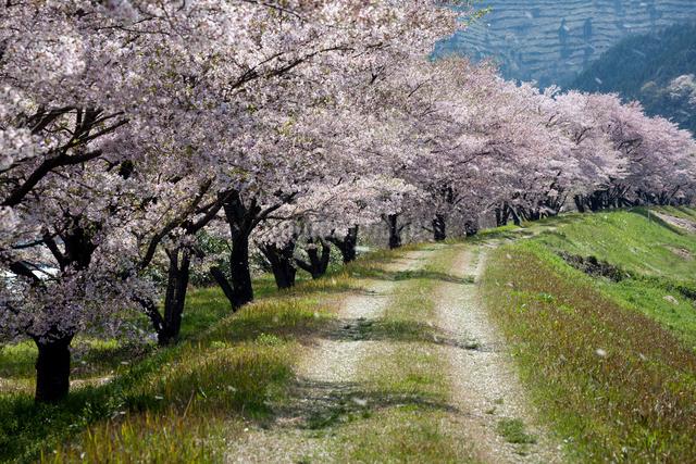 花吹雪舞う桜並木と道の写真素材 [FYI03348176]
