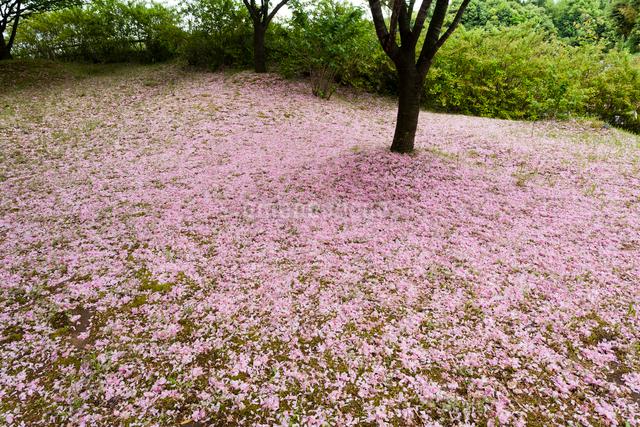 散り桜の絨毯の写真素材 [FYI03348185]