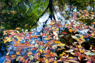 水面の落葉の写真素材 [FYI03348210]