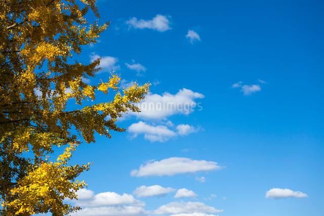 黄葉するイチョウと秋空の写真素材 [FYI03348213]