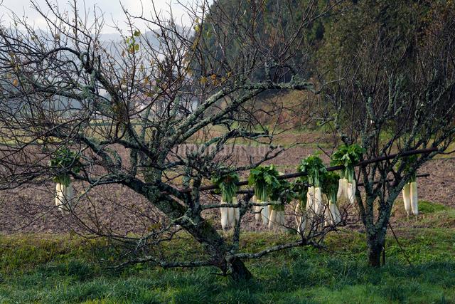 梅の木と干し大根の写真素材 [FYI03348220]
