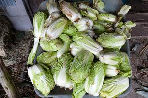収穫された白菜の写真素材 [FYI03348221]