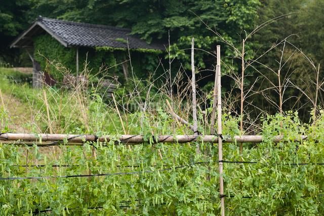 エンドウ豆と古い納屋の写真素材 [FYI03348233]