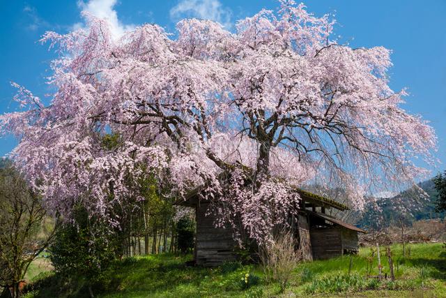 満開のシダレザクラと古い納屋の写真素材 [FYI03348235]
