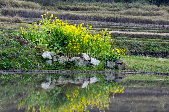 菜の花と水田の写真素材 [FYI03348239]