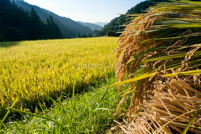 収穫時の棚田の写真素材 [FYI03348259]