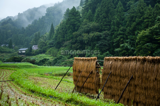 雨に濡れる稲架干しの稲の写真素材 [FYI03348266]