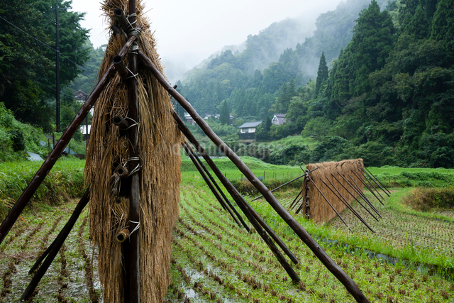 雨に濡れる稲架干しの稲の写真素材 [FYI03348267]