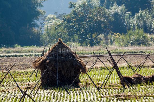 収穫終えた田中に積まれた藁塚の写真素材 [FYI03348271]