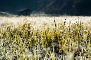 羊田に張られた無数の蜘蛛の糸の写真素材 [FYI03348279]