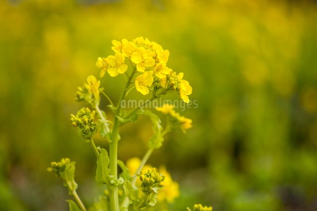 菜の花の写真素材 [FYI03348287]