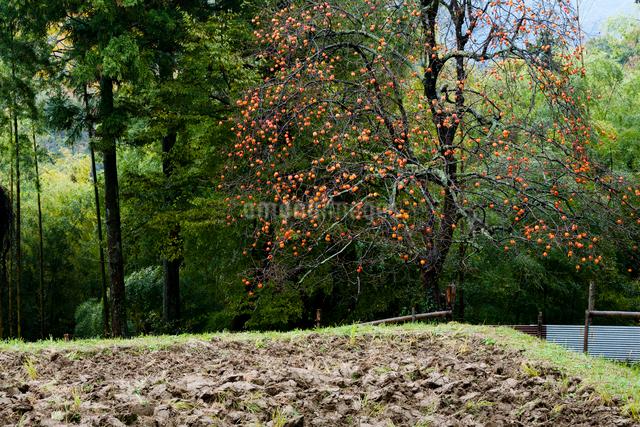 晩秋の柿と荒起こしの田んぼの写真素材 [FYI03348290]
