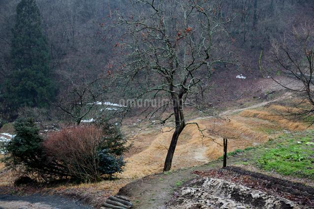 冬ざれの残り柿と畑の写真素材 [FYI03348297]