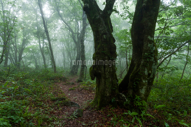 霧漂う深山の山道と古木の写真素材 [FYI03348313]