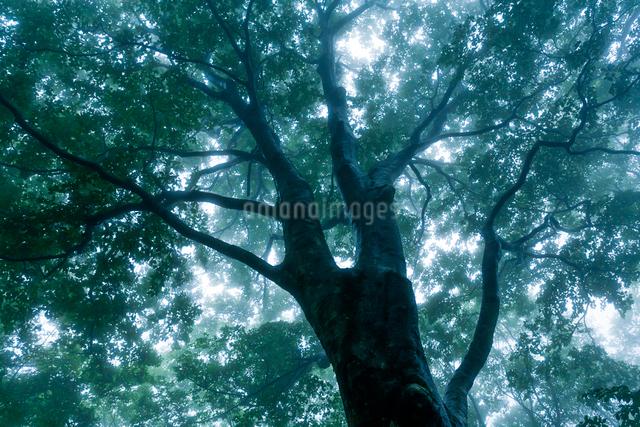 雨霧に濡れるブナの写真素材 [FYI03348316]