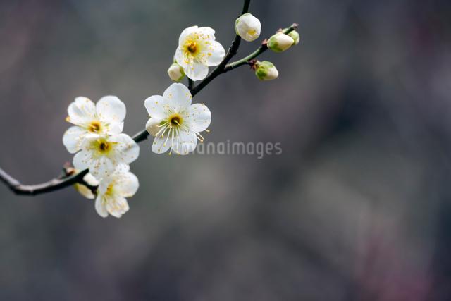 白梅の写真素材 [FYI03348317]