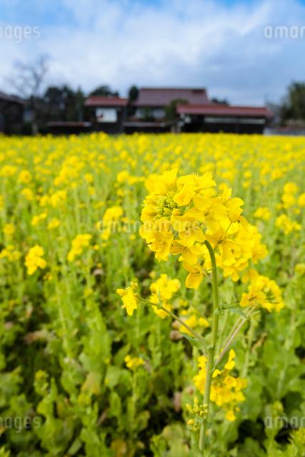 菜の花畑と民家の写真素材 [FYI03348322]