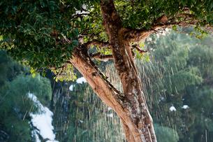 煌めく雪解けの飛沫と柚子の木の写真素材 [FYI03348323]