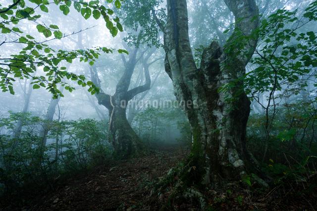 霧漂う深山の山道と古木の写真素材 [FYI03348348]