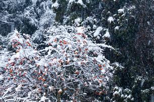 残り柿と降雪の写真素材 [FYI03348380]