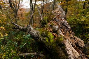 朽ちるブナの倒木の写真素材 [FYI03348428]