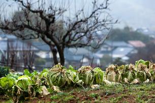冬の白菜畑の写真素材 [FYI03348458]