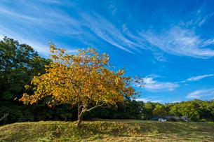 紅葉する柿ノ木と青空の写真素材 [FYI03348557]
