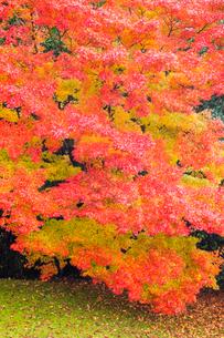 艶やかなモミジの紅葉の写真素材 [FYI03348579]