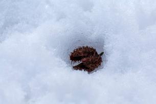 雪を溶かすブナの実の殻の写真素材 [FYI03348590]