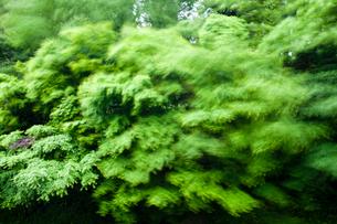 青嵐に揺れるモミジ新緑の写真素材 [FYI03348625]