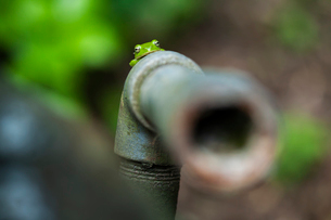 古い水道管とシュレーゲルアオガエルの写真素材 [FYI03348626]