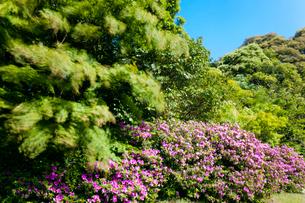 青嵐に揺れる新緑とツツジの写真素材 [FYI03348631]
