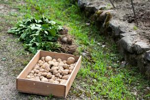 家庭菜園から収穫されたジャガイモの写真素材 [FYI03348657]