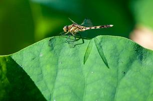 蓮の葉に羽影が映るムギワラトンボの写真素材 [FYI03348663]