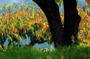 紅葉が進む柿ノ木の写真素材 [FYI03348700]