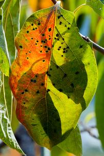 柿の葉の紅葉の写真素材 [FYI03348711]