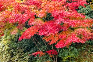 艶やかに紅葉するモミジの写真素材 [FYI03348720]