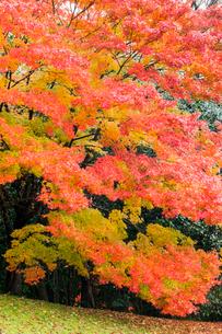 艶やかなモミジの紅葉の写真素材 [FYI03348724]