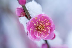 紅梅を彩る春雪の写真素材 [FYI03348737]