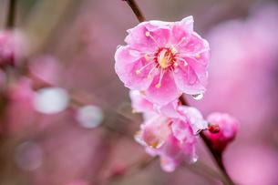 雨に濡れる紅梅の写真素材 [FYI03348746]
