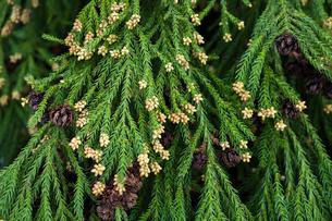 杉の雄花の写真素材 [FYI03348788]