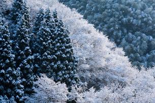 雪化粧する杉林と広葉樹林と竹林の写真素材 [FYI03348793]