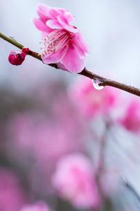 紅梅と雨雫の写真素材 [FYI03348798]