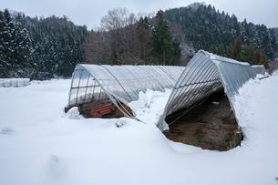 雪の重みでつぶれたビニールハウスの写真素材 [FYI03348799]