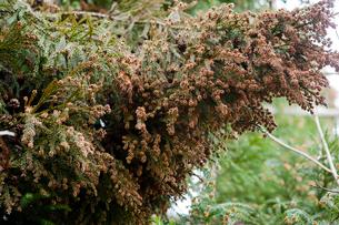 花粉を飛ばす杉の雄花の写真素材 [FYI03348822]