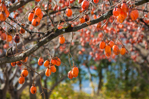 たわわに実る熟柿の写真素材 [FYI03348842]