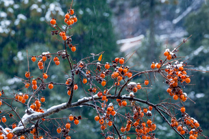 たわわに実る渋柿と降雪の写真素材 [FYI03348848]