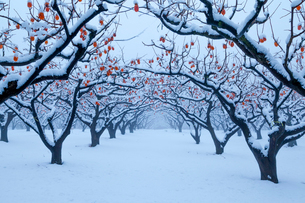 熟柿残る冬の柿畑の写真素材 [FYI03348850]