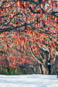 冬の柿畑の写真素材 [FYI03348876]