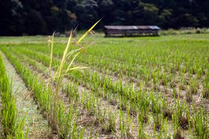 刈り残された稲の写真素材 [FYI03348883]